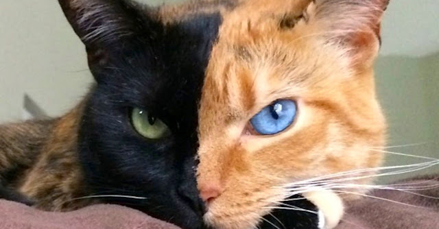 Natures ParadoxVenus The Cat Has Two Faces A Real And - Venus cat two faces making twice adorable