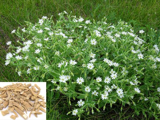 Stellaria dichotoma L. var. lanceolata Bge. (Fam. Caryophyllaceae)