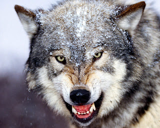 wolf wolve dog