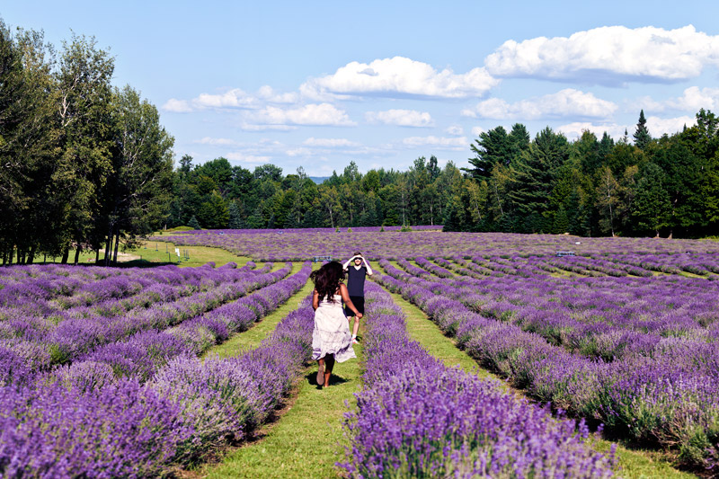 Running through lavender fields in the Eastern Townships of Quebec
