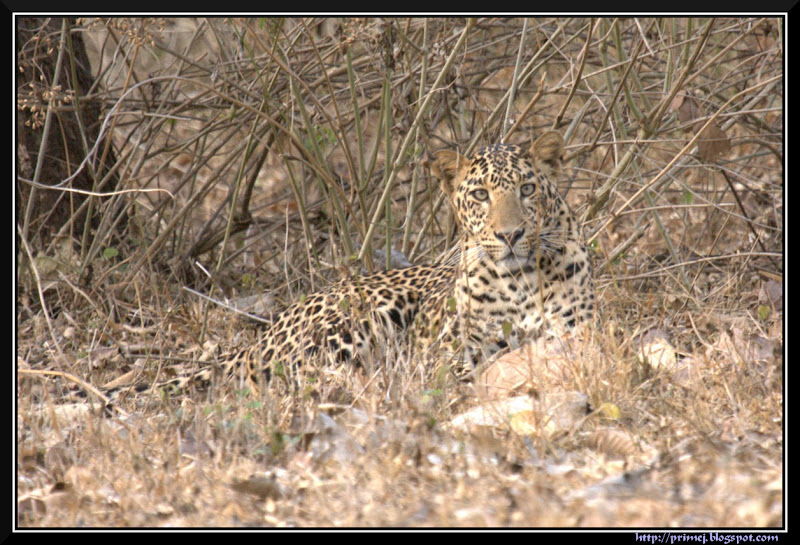Leopard, Kabani