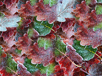 http://www.redbubble.com/people/annepic/works/2206112-frosted-leaves?p=greeting-card