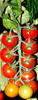 https://fr.wikipedia.org/wiki/Tomate
