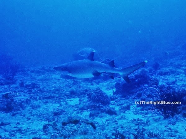 Pregnant Whitetip Reef Shark (Triaenodon obesus)