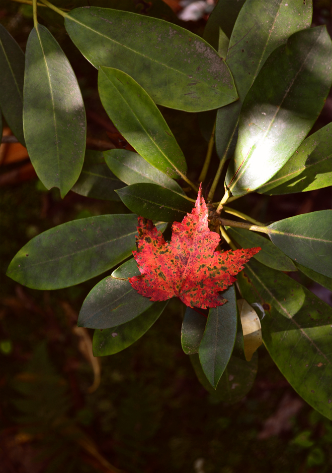 Red leaf on rhododendron
