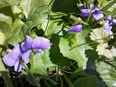 Wild Violets