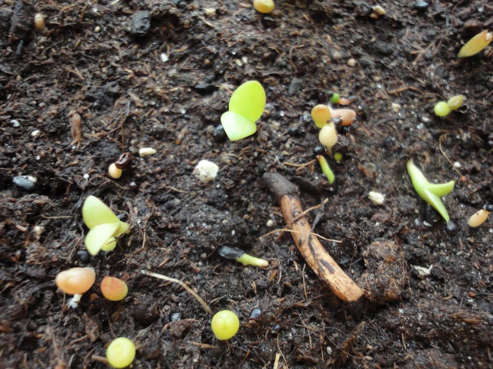 Stuff I Grow Pachypodium Saundersii Germinates Fast