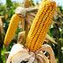 GMO-val szennyezett kukoricát találtak