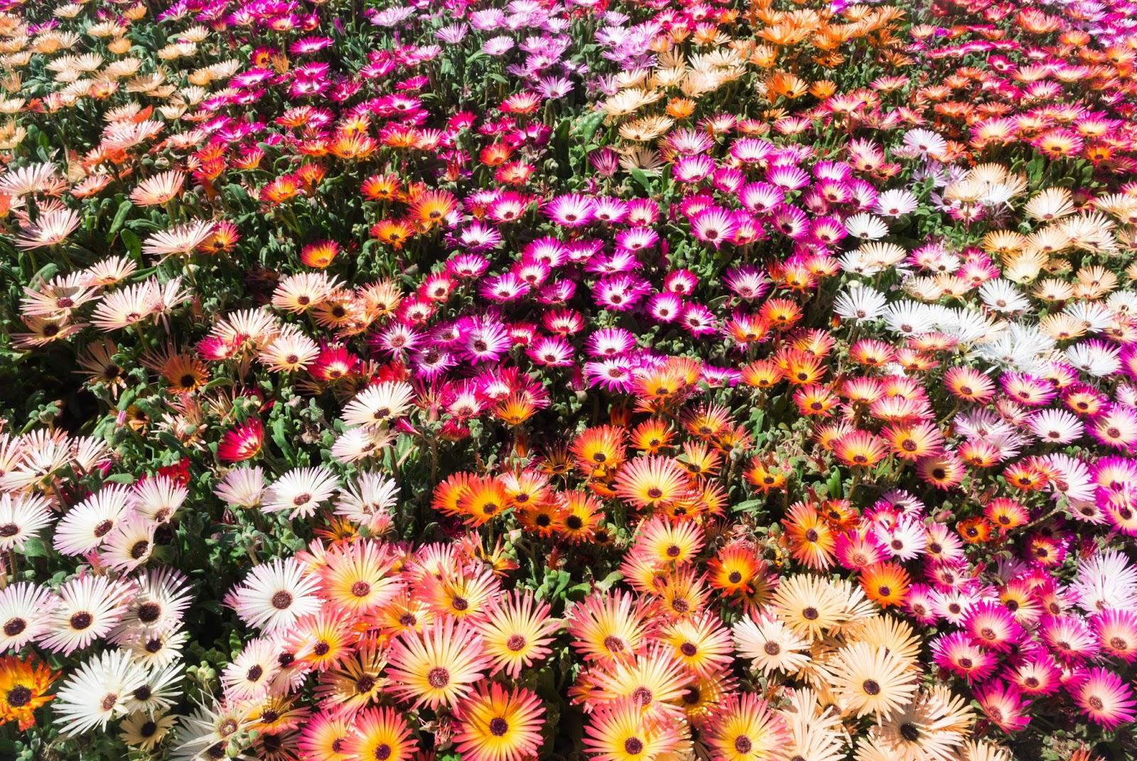 садовые цветы цветы обои