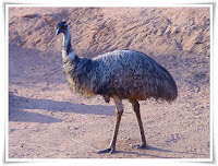 Emu Animal Pictures