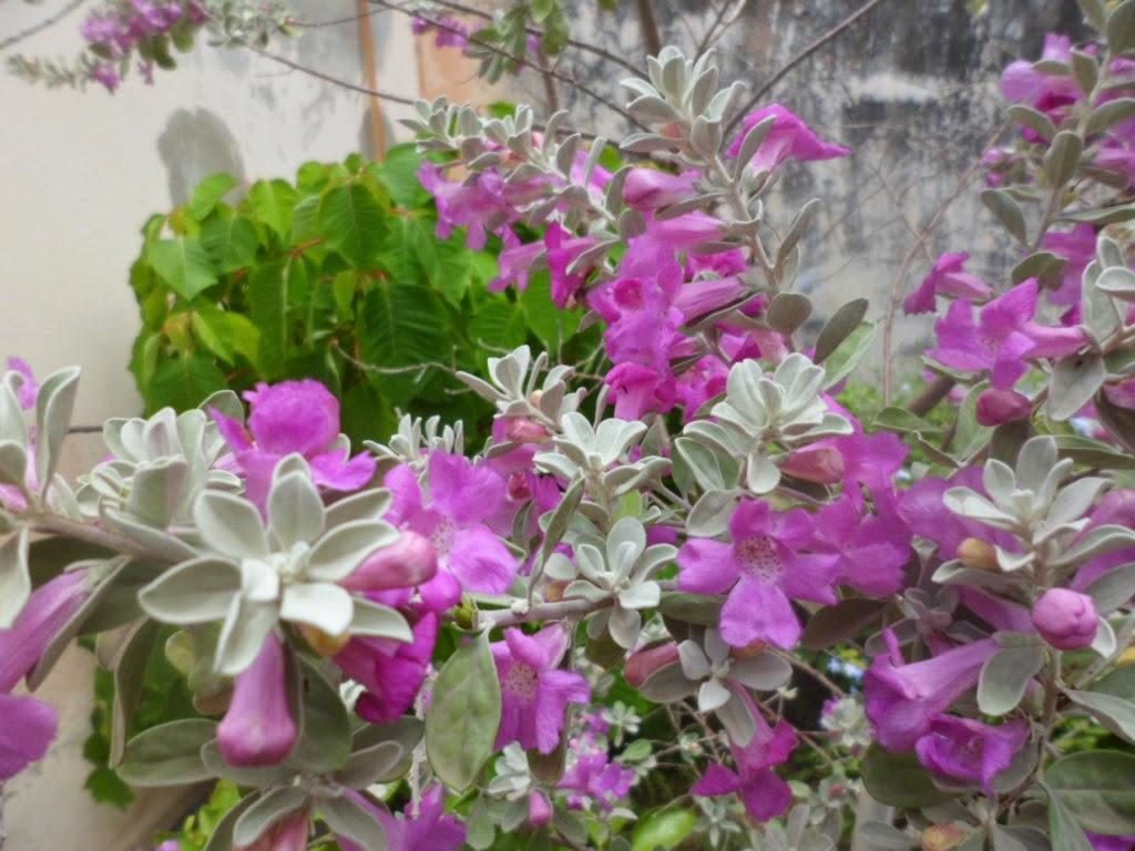 Aromito en flor leucophillum frutenses - Arbusto pequeno con flores ...