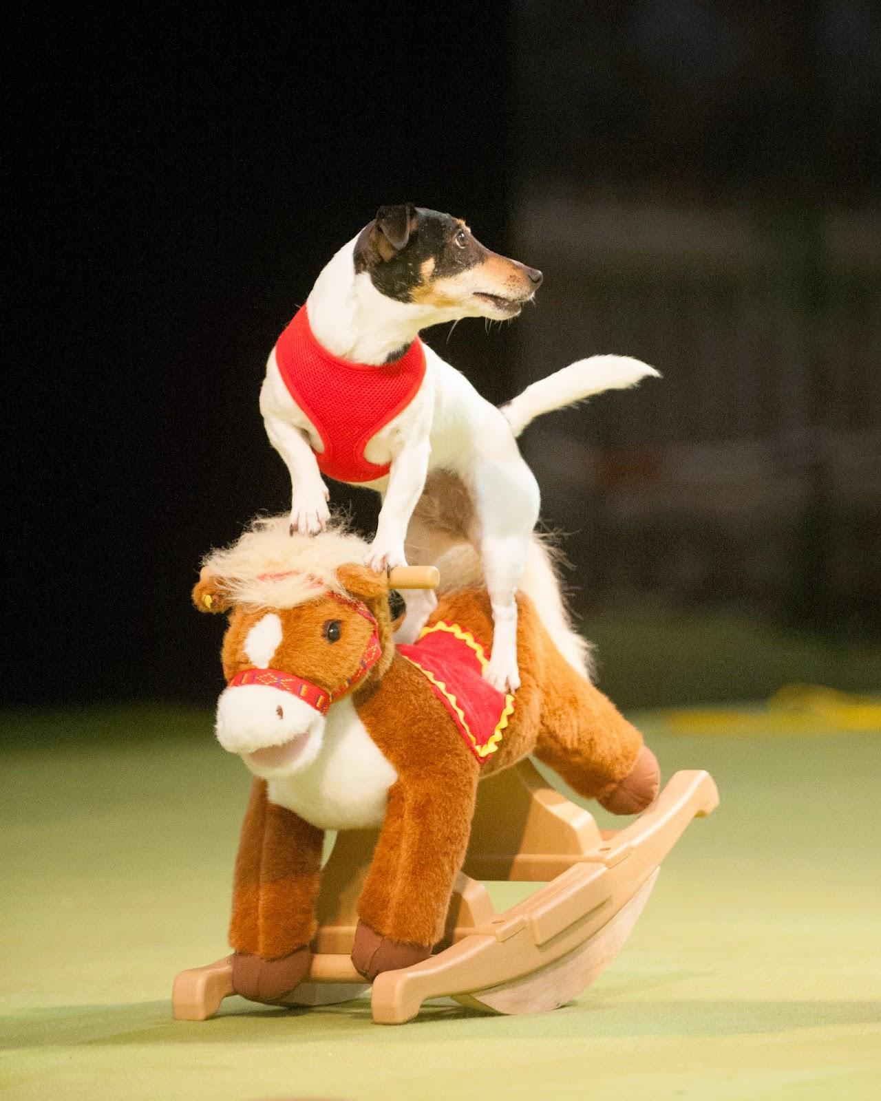 Talented dog on rocking horse
