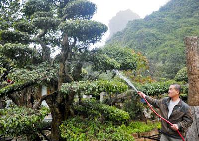 phân bón và độ ẩm ảnh hưởng đến cây cảnh