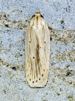 Latest New Micro Moth Species - Agonopterix pallorella