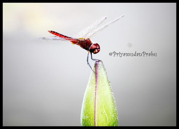 தட்டான்பூச்சி-புகைப்படம்-Dragonfly-Photos  Dragonfly-priyamudanprabu+(2)