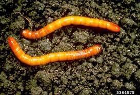 الديدان الخيطية wireworm