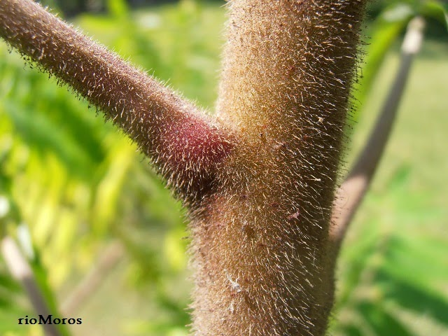 Zumaque de Virginia: Rhus typhina