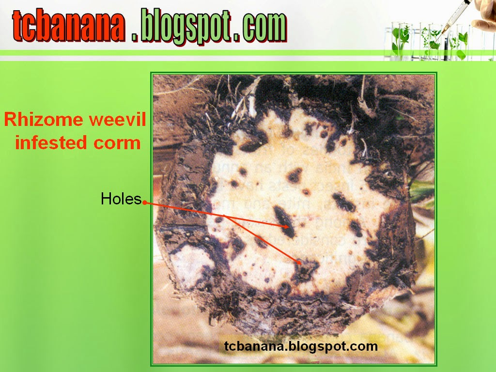 Insect Pests – Rhizome Weevil / Corm borer ~ Tissue ...