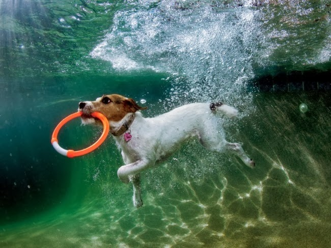 Парсон Рассел терьер по кличке Лулу приводняется в бассейн в американском Фениксе (штат Аризона). Чтобы запечатлеть момент, когда она хватает брошенную в воду игрушку, фотографу понадобились десять попыток, умение работать под водой и фантастическая сноровка. © Сет Кастил