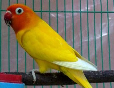lovebird-ngekek