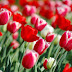 Red Tulips wallpapers