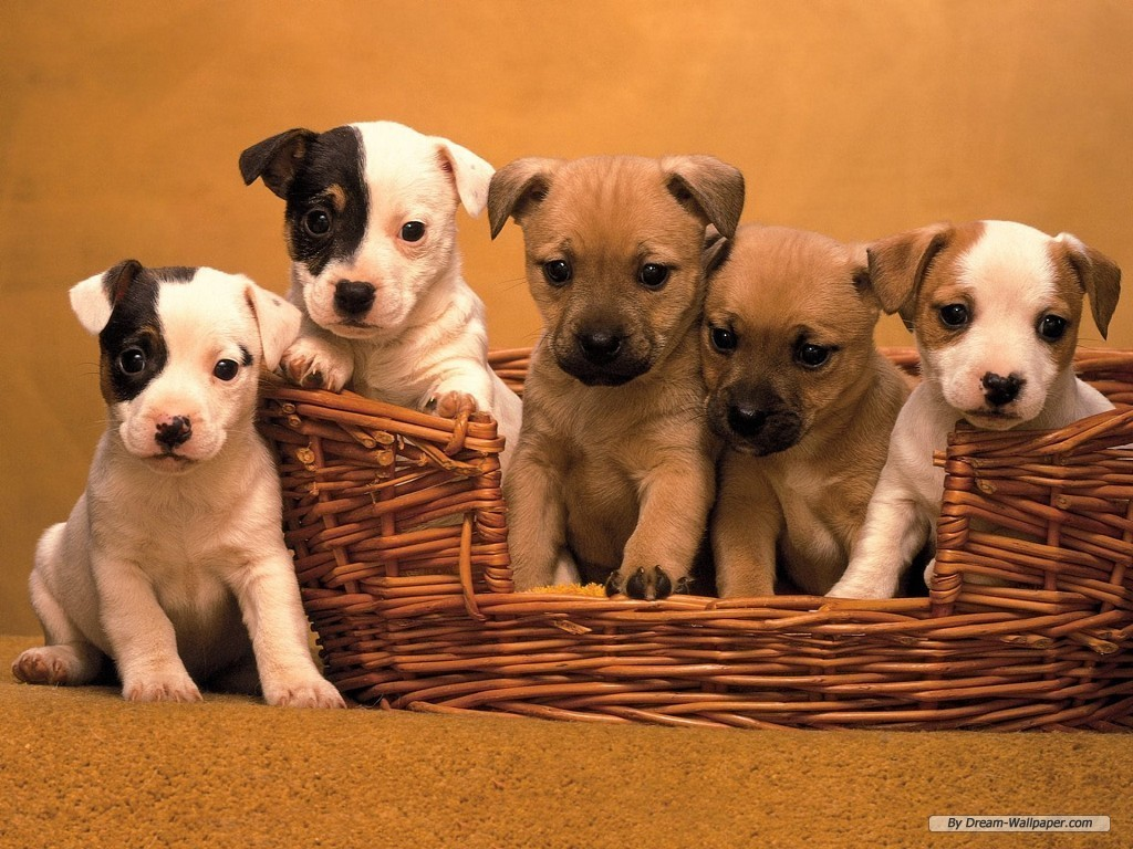 http://1.bp.blogspot.com/-akuchW0vI34/TlfJvJGOZhI/AAAAAAAACWc/XzpA92_mW0M/s1600/Puppy-Wallpaper-dogs-7013331-1024-768.jpg