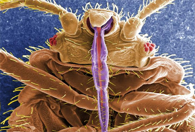 bed bug picture under microscope