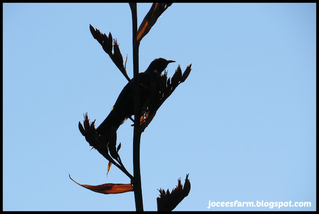 Tui and flax flower @ Jocees Farm