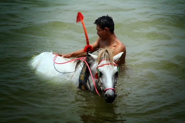 C'est peu après la deuxième guerre mondiale que les vétérinaires Jauffret et Autret parcourent l'Indochine pour faire un état détaillé des productions agricoles et des cheptels du Vietnam, du Laos et du Cambodge. Leurs travaux seront publiés en 1948 pour le compte du CIRAD et constituent une documentation méticuleuse et impressionnante. Sont extraits ci-dessous l'un des rares textes concernant les chevaux de petites tailles qui ont autrefois été très nombreux et très utiles pour l'activité agricole au Cambodge, mais aussi pour les déplacements et les courses sportives. Il est amusant aussi de constater que, bien que s'agissant d'un rapport technique, les vétérinaires ont peine à cacher leur attachement pour ce petit cheval qu'on croise encore régulièrement dans les provinces du Cambodge.