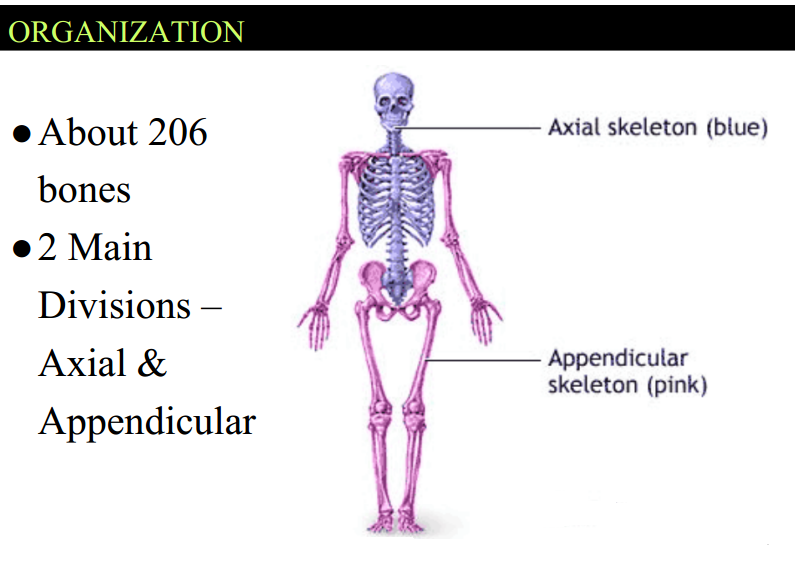 essay skeleton format August 15, 2012 posted by essay-writer in free essays skeletal system of a person consists of bones, ligaments and cartilage ligaments help to joint about 206 bones together and cartilages add to the elasticity of the skeleton.