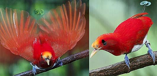 Cendrawasih Raja Bahasa Latin Cicinnurus Regius Adalah Burung Pengicau Anggota Famili Paradisaeidae Burung Cendrawasih Yang Panjang Tubuhnya Sekitar