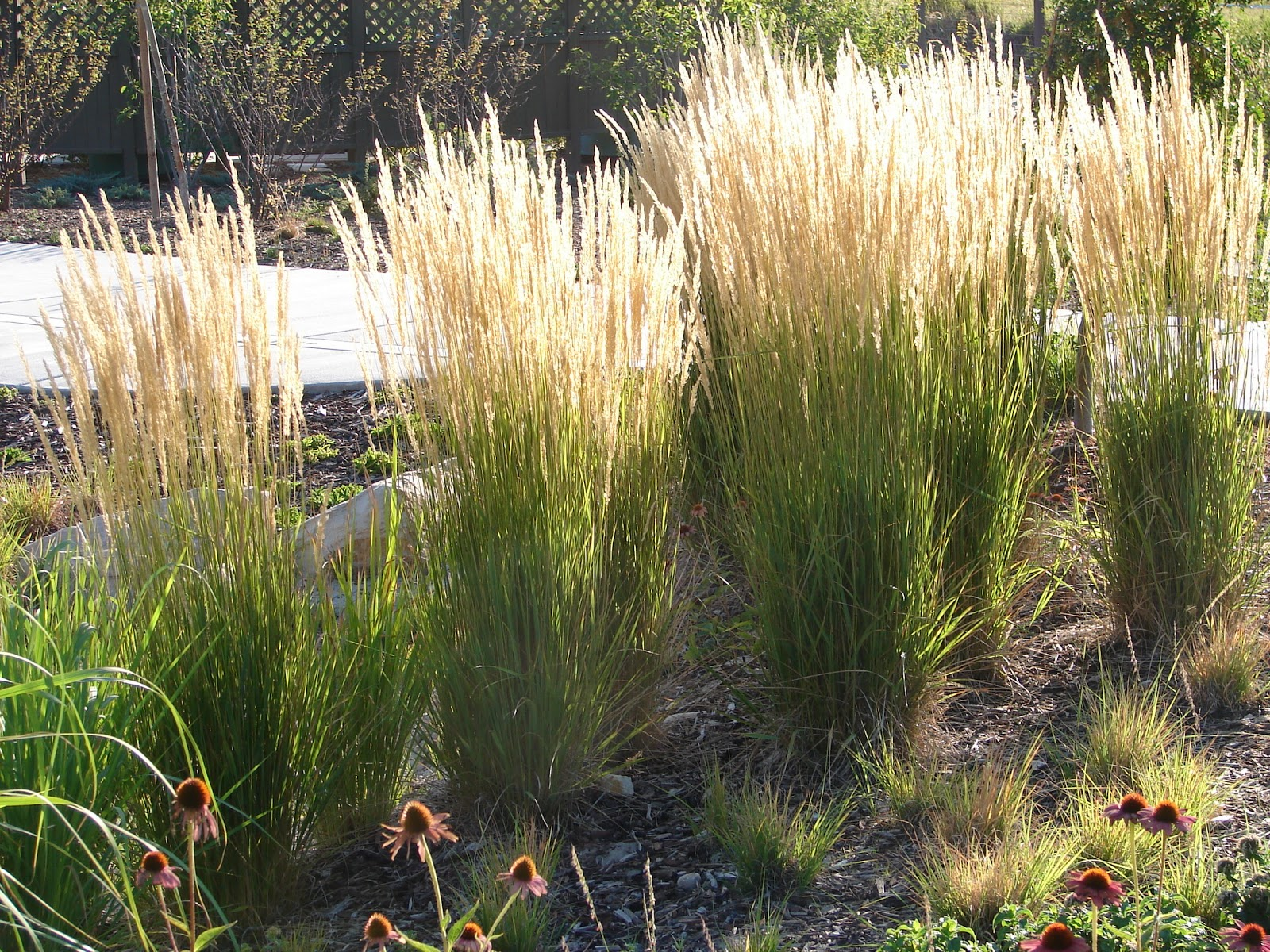 New utah gardener the most drought tolerant waterwise for Using grasses in garden design