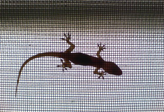 Lizard (Gecko)