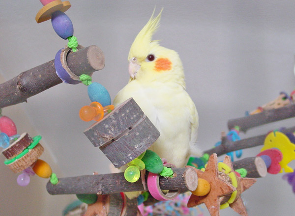 Toys For Cockatiels 3