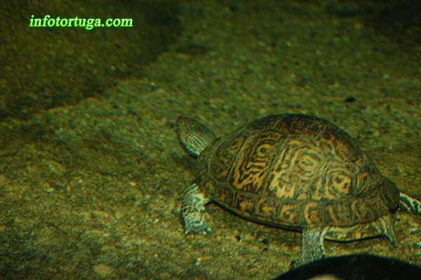 Rhinoclemmys pulcherrima manni en el agua