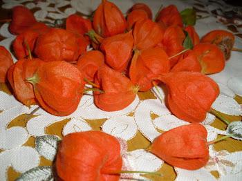 Physalis: el fruit embolcallat...