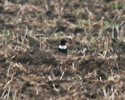 Ring Ouzel, 25th March 2010