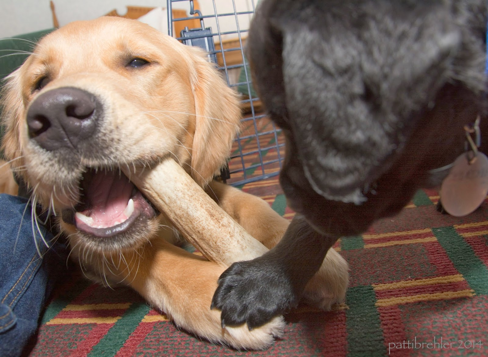 A close up shot taken from floor level of a golden retriever puppy (on the left) chewing an elk antler held between his paws. The antler is in his open mouth and he is looking at the camera. An out of focus black lab puppy is on the right looking at the antler. He has one front paw resting on the right front paw of the golden retriever.