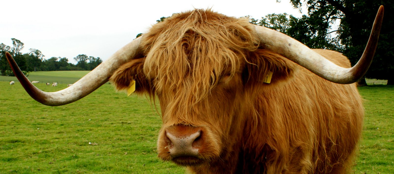 Scottish highland cattle a highland cow at rossie