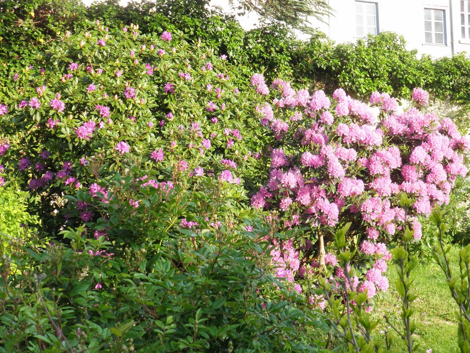 Le jardin des simples des rhododendrons - Rhododendron ne fleurit pas ...