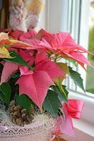 Цветя за Коледа