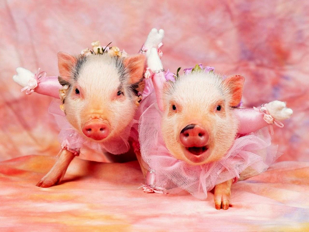Schweine in Ballet-Kleidung
