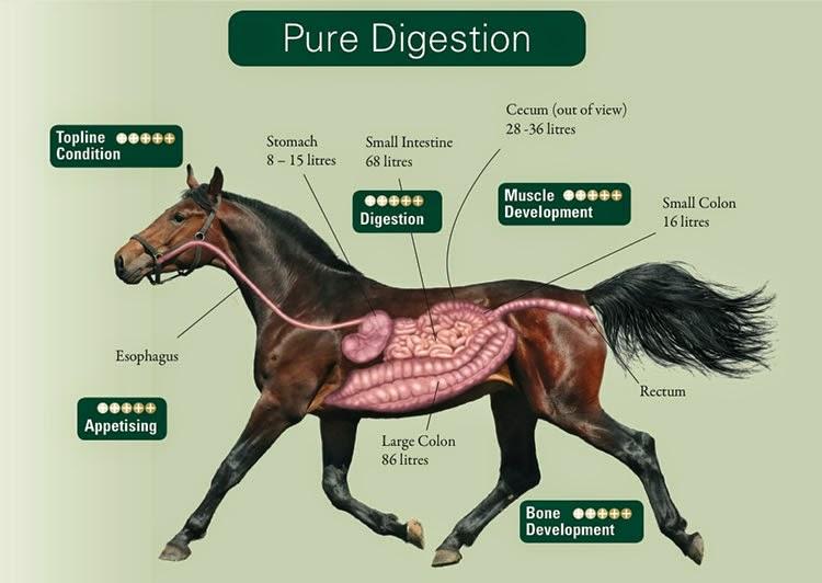 Risultati immagini per anatomia cavallo digerente