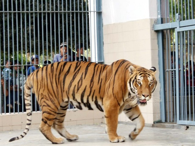 The Administration Of The Karachi Zoo Was Recently Handed Over Of A Pair  Each Of White Tiger And Bengal Tiger Adding To The Attraction For The  People Who ...