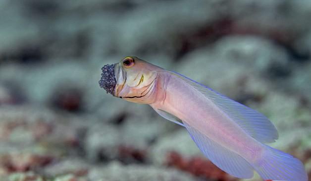 سمكة الرأس الاصفر 40s1D