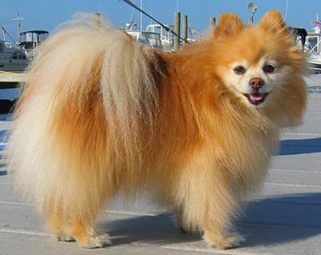 Pomeranian Size,Weight and Life Expectancy