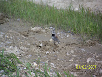 McCown&#39;s Longspur