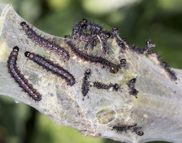 Peacock larvae, Aglais io, on Common Nettle, Urtica dioica.  Hayes Street Farm, 18 June 2015.