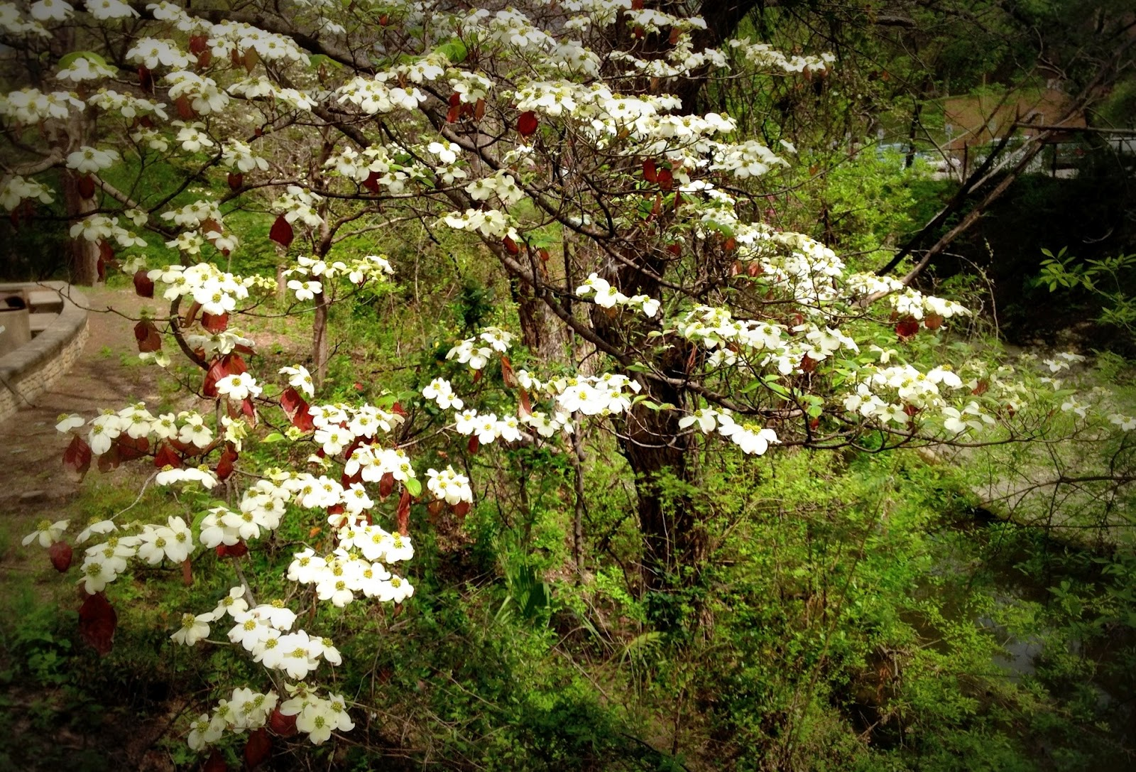 The Grackle: Flowering Dogwood