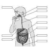 Cómo funciona mi sistema digestivo?